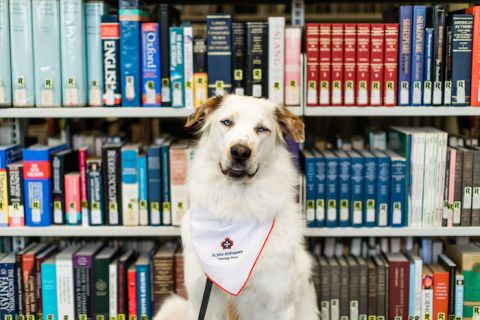 Woof is a therapy dog that helps students