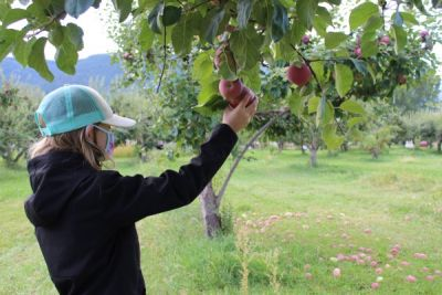 Masked elementary student with a hat on picks an apple in an orchard